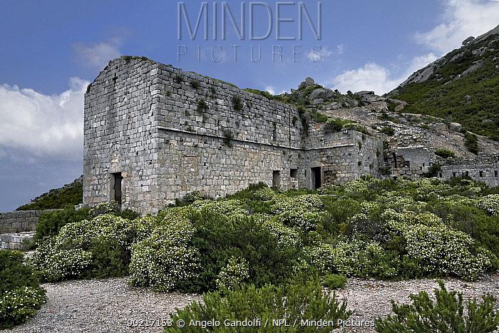 Remains of medieval monastery among flowering Cistus (Cistus monospelliensis) Montecristo Island, Tuscany Archipelago National Park, Italy June 2010  -  Angelo Gandolfi/ npl