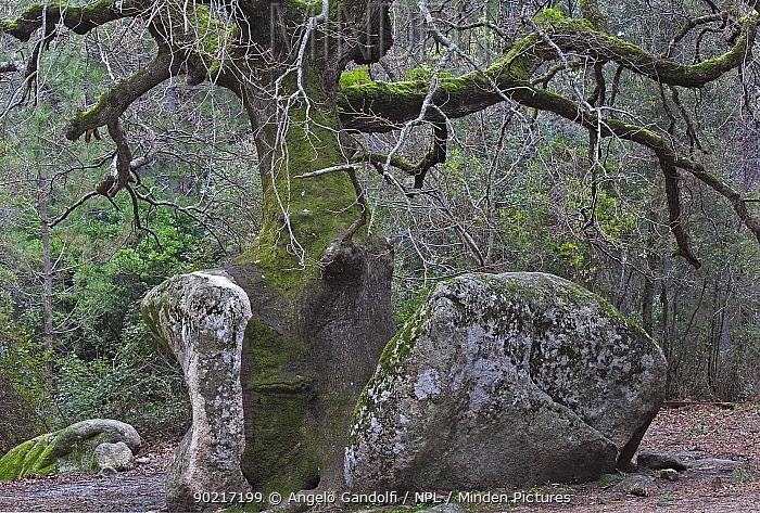An old Cork Oak tree (Quercus suber) growing over a rock, Corsica island, France February 2010  -  Angelo Gandolfi/ npl