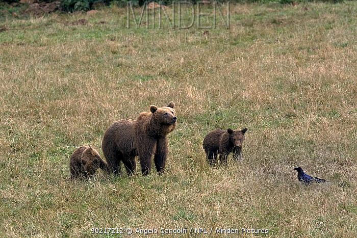 Brown Bear (Ursus arctos) female with two cubs, Abruzzo National Park, Italy, March  -  Angelo Gandolfi/ npl