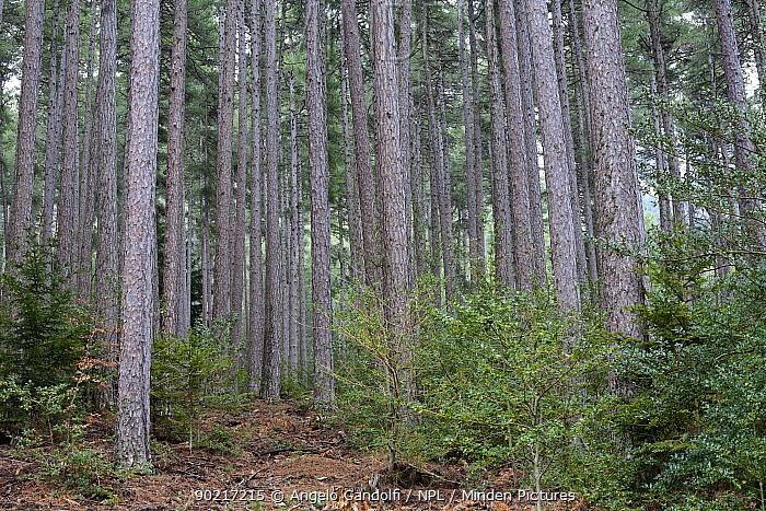 Corsican Black Pine trees (Pinus nigra laricio corsicanus) growing in Foret d'Aitone woods Parc Naturel Regional de Corse, Corsica island, France, January 2010  -  Angelo Gandolfi/ npl