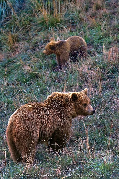 Two Brown Bears (Ursus arctos) standing on grassy hillside, Abruzzo National Park, Italy, July  -  Angelo Gandolfi/ npl
