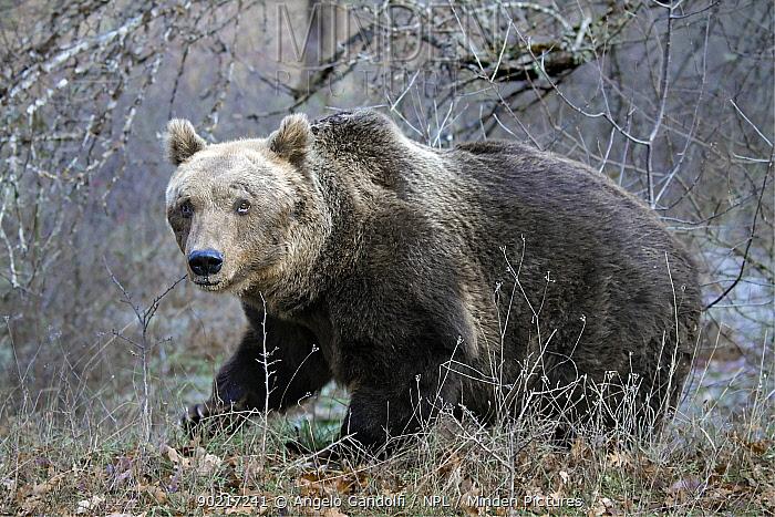 Brown Bear (Ursus arctos) Abruzzo National Park, Italy, December  -  Angelo Gandolfi/ npl