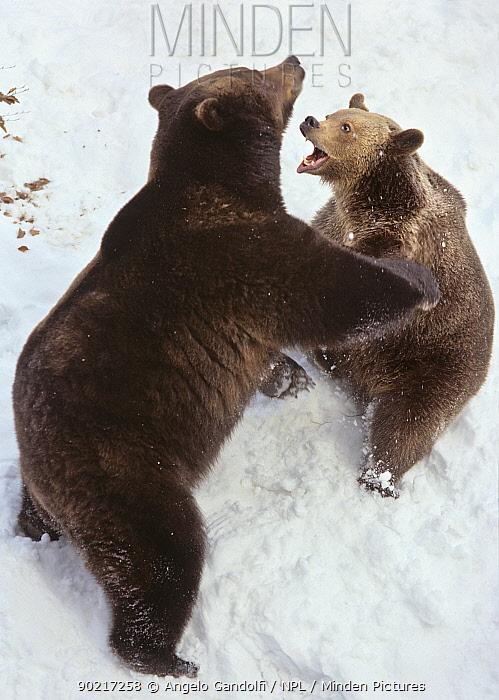 Brown Bear (Ursus arctos) mock fighting, Bayerisch Wald National Park, Germany Captive  -  Angelo Gandolfi/ npl