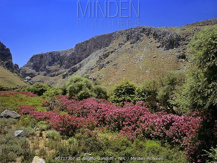 Oleanders (Nerium oleander) flowering in a canyon, Crete, Greece, July  -  Angelo Gandolfi/ npl