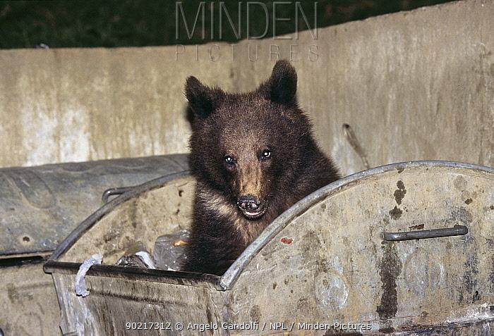 Brown Bear (Ursus arctos) searching for food in industrial rubbish bins, Brasov, South Carpathian mountains, Romania  -  Angelo Gandolfi/ npl