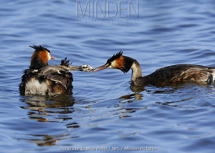Great Crested Grebes (Podiceps cristatus) feeding young chick on water, Herdsman Lake, Perth, Western Australia  -  Mike Potts/ npl