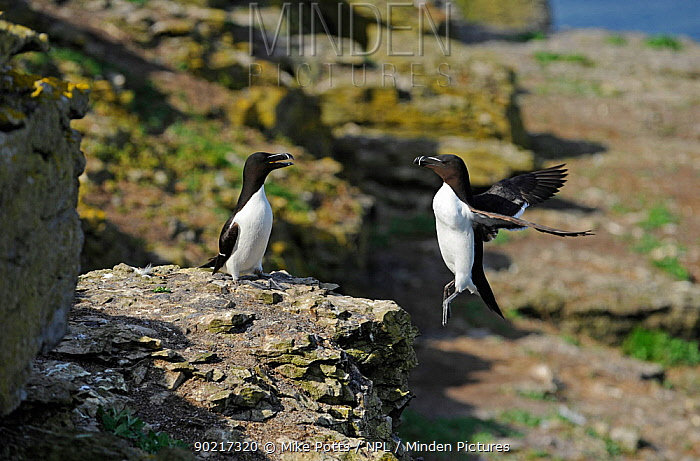 Two Razorbills (Alca torda) one landing on cliff  -  Mike Potts/ npl