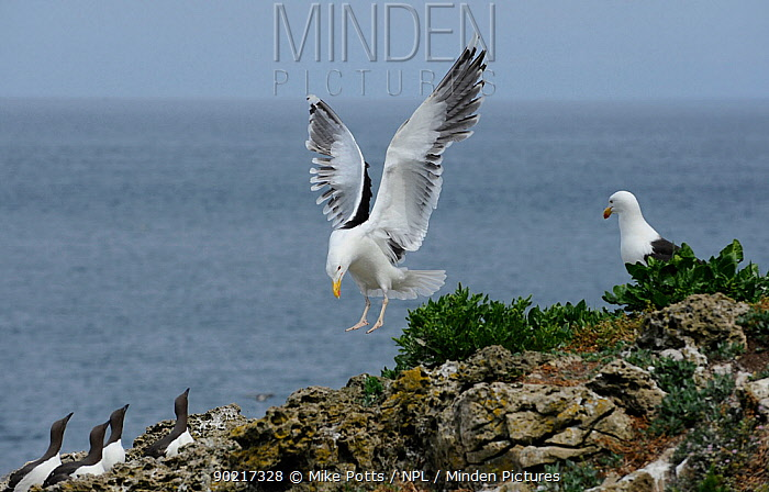 Greater Black Backed Gull (Larus marinus) landing near Guillemot (Uria aalge) nesting colony, Anglesey coast North Wales, UK, June  -  Mike Potts/ npl