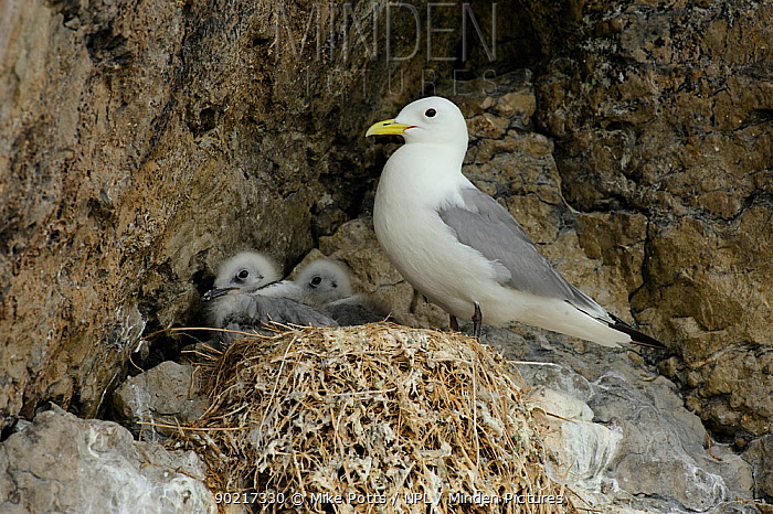 Kittiwake (Rissa tridactyla) at nest with two well grown young Puffin Island North Wales, UK, July  -  Mike Potts/ npl