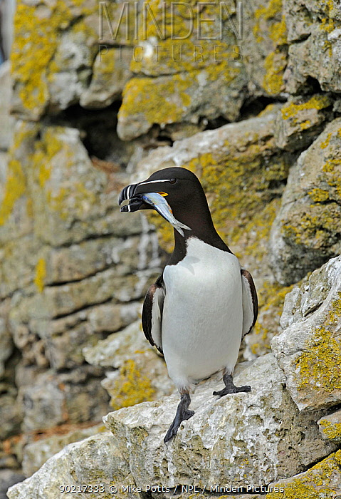 Razorbill (Alca torda) standing on lichen covered cliff ledge, with Sand eel (Ammodytes tobianus) in bill, Puffin Island off Anglesey, North Wales, UK, June  -  Mike Potts/ npl