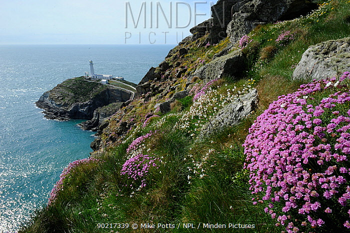 South Stack Lighthouse, in early spring, with flowering Sea thrift (Armeria maritima) Anglesey North Wales UK, May 2010  -  Mike Potts/ npl