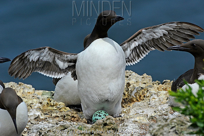 Guillemot (Uria aalge) flapping wings, whilst incubating egg in nesting colony, Puffin Island, North Wales, UK, May  -  Mike Potts/ npl