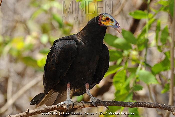 Lesser Yellow-headed vulture (Cathartes burrovianus) perched in the Caatinga forest at Serra das Almas Natural Reserve, western Ceara State, Brazil  -  Luiz Claudio Marigo/ npl
