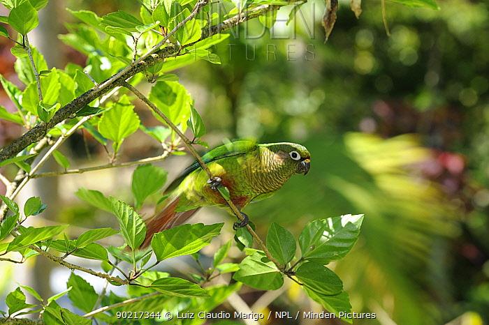 Reddish, Marron-bellied parakeet (Pyrrhura frontalis) perched in Hibiscus tree, Atlantic Rainforest of Serrinha do Alambari Environmental Protection Area, Resende, Rio de Janeiro State, Brazil  -  Luiz Claudio Marigo/ npl