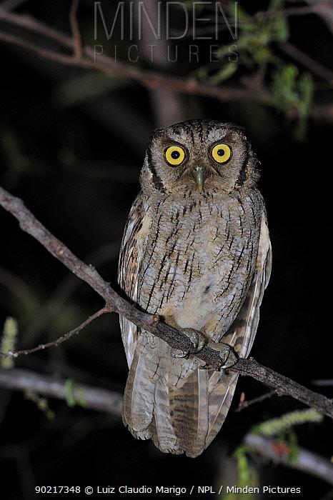 Tropical Screech Owl (Otus, Megascops choliba) perched in Caatinga vegetation at night, Serra das Almas Natural Reserve, western Ceara State, northeastern Brazil  -  Luiz Claudio Marigo/ npl