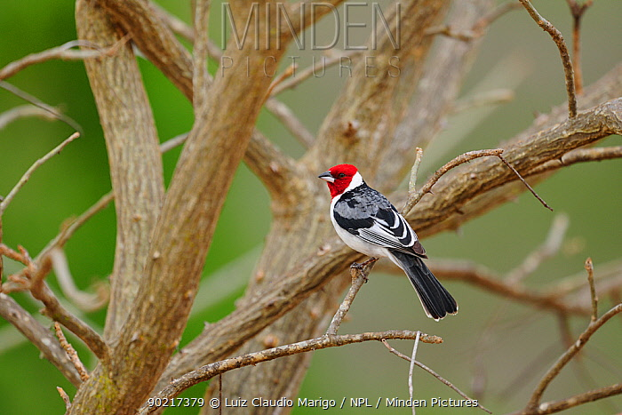 Red-cowled Cardinal (Paroaria dominicana) perched in Caatinga vegetation, at Hotel Farm Pai Mateus, near Cabaceiras town, interior of Paraaba State, Northeastern Brazil, December  -  Luiz Claudio Marigo/ npl