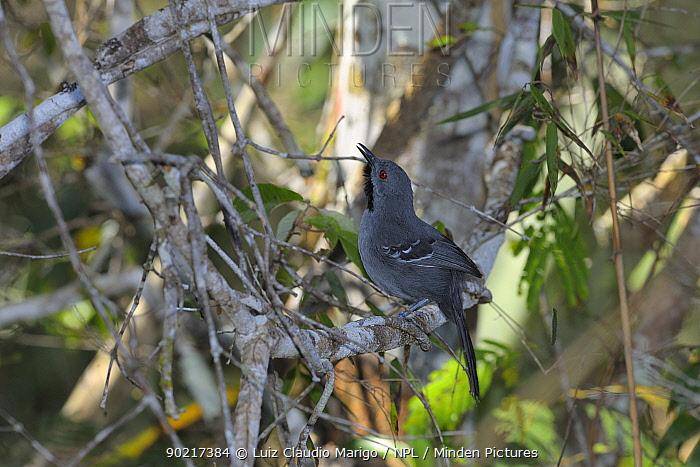 Slender Antbird (Rhopornis ardesiacus) male, perched in caatinga vegetation, in the municipality of Boa Nova, southeastern Bahia State, Brazil September  -  Luiz Claudio Marigo/ npl