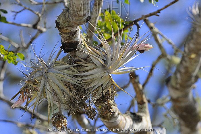 Bromeliad (Tillandsia gardner) flowering in the 'mata-de-cipo' of Caatinga region, municipality of Boa Nova, southeastern Bahia State, eastern Brazil September  -  Luiz Claudio Marigo/ npl