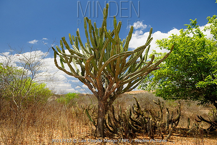 Mandacaru cactus (Cereus jamacaru) in the Caatinga vegetation near Cabaceiras town, interior of Paraa�ba State, Northeastern Brazil December 2009  -  Luiz Claudio Marigo/ npl