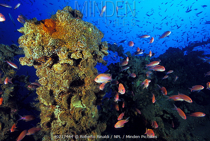 The encrusted wreck of crude oil super-tanker Amoco Milford Haven, surrounded by Swallowtail anthias (Anthias anthias) The tanker sank on April 14th, 1991 after three days of fire Genoa, Italy, 2007  -  Roberto Rinaldi/ npl