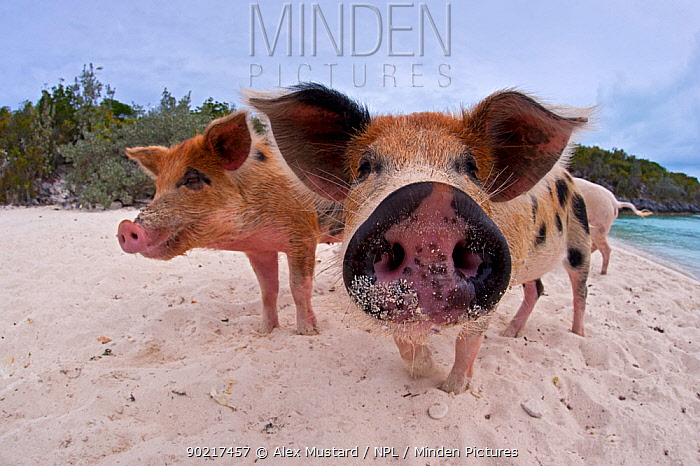 A group of young domestic pigs (Sus domestica) on the beach in the Bahamas Exuma Cays, Bahamas Tropical West Atlantic Ocean  -  Alex Mustard/ npl