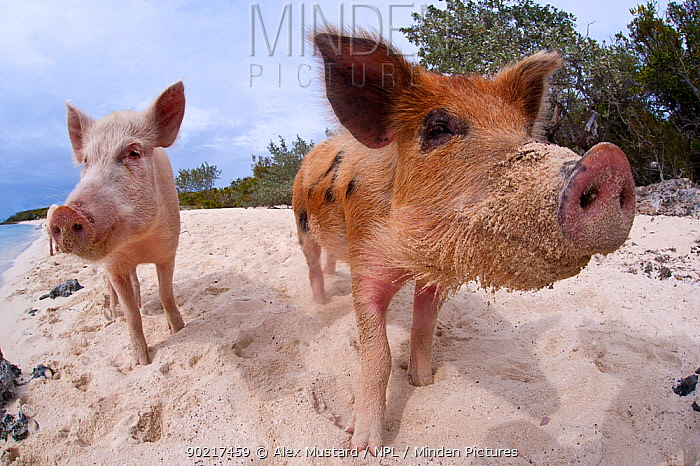 A pair of young domestic pigs (Sus domestica) on the beach in the Bahamas Exuma Cays, Bahamas Tropical West Atlantic Ocean  -  Alex Mustard/ npl