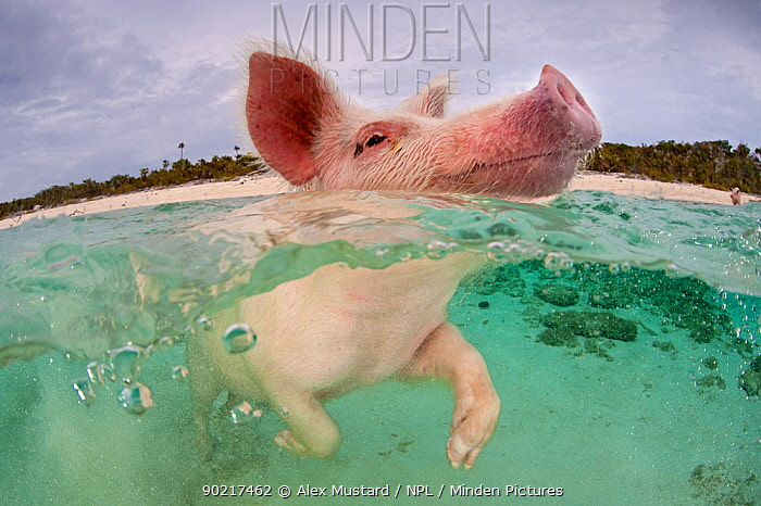 A domestic pig (Sus domestica) bathing and swimming in the sea Exuma Cays, Bahamas Tropical West Atlantic Ocean  -  Alex Mustard/ npl