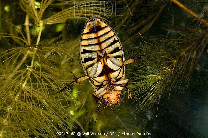 The underside of Great diving beetle (Dytiscus circumflexus) on Soft Hornwort (Ceratophyllum submersum) in pond, captive, UK  -  Will Watson/ npl