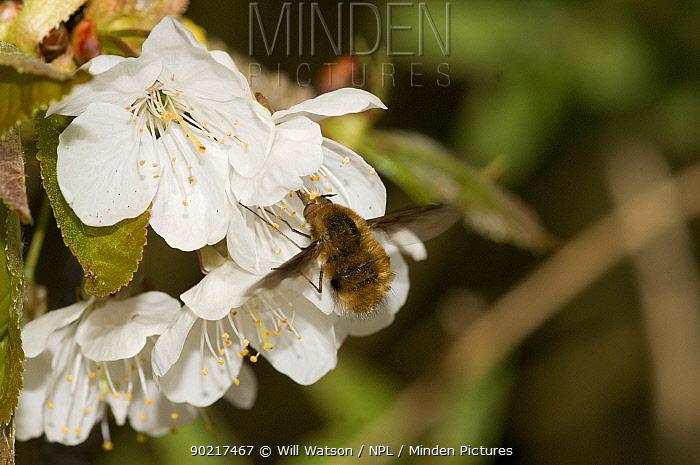 Bee-fly (Bombylius major) pollinating Wild Cherry (Prunus avium) Herefordshire, England, UK  -  Will Watson/ npl