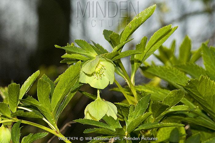 Green Hellebore (Helleborus viridis) flowering, Herefordshire, England, UK, April  -  Will Watson/ npl