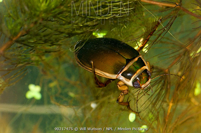 Male Great Diving Beetle (Dytyiscus marginalis) on Soft Hornwort (Ceratophllum submersum) in pond, Herefordshire, England, UK  -  Will Watson/ npl