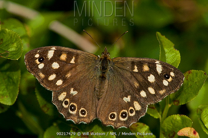 Speckled Wood (Pararge aegeria) at rest with wings open on Bilberry (Vaccinium myrtillus) Herefordshire, England, UK, August  -  Will Watson/ npl