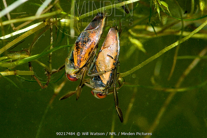 Spotted Backswimmer (Notonecta maculata) on the back of the Common Backswimmer (Notonecta glauca) with Horned Pondweed (Zannichellia palustris) in pond, captive, England  -  Will Watson/ npl