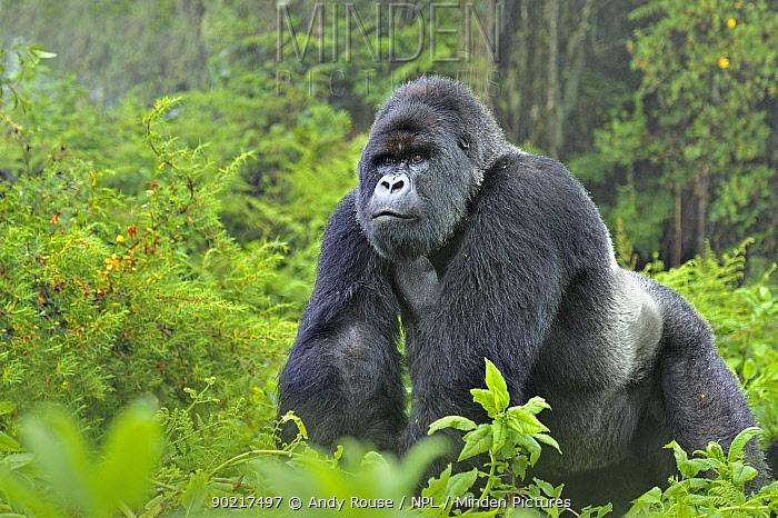 Mountain gorilla (Gorilla gorilla beringei) silverback in Susa group, Parc National des Volcans, Rwanda  -  Andy Rouse/ npl
