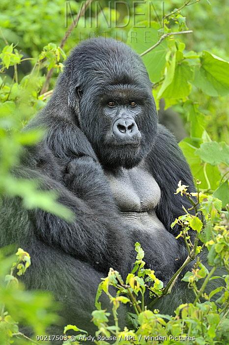 Mountain gorilla (Gorilla gorilla beringei) silverback, Susa group, Parc National des Volcans, Rwanda  -  Andy Rouse/ npl