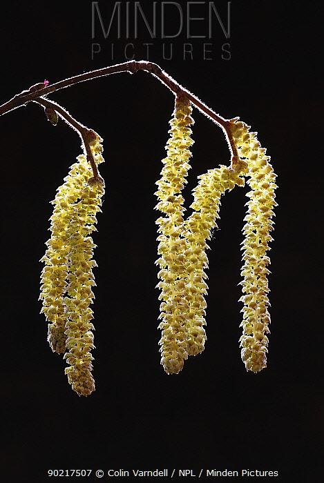 Hazel (Corylus avellana) catkins ripe with pollen Dorset, UK February  -  Colin Varndell/ npl
