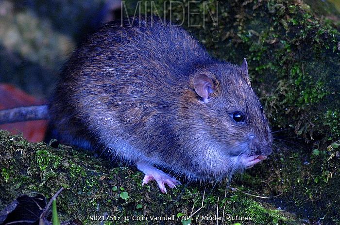 Common, Brown rat (Rattus norvegicus) Dorset, UK January  -  Colin Varndell/ npl