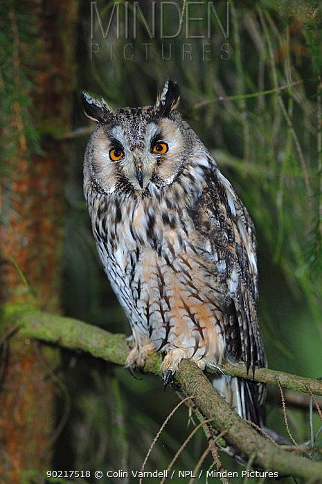 Long-eared owl (Asio otus) perched in tree, captive, UK, October  -  Colin Varndell/ npl