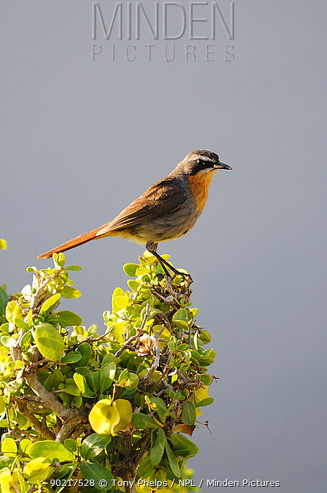 Cape Robin Chat (Cossypha caffra) perched in shrub, dehoop NR, Western Cape, South Africa  -  Tony Phelps/ npl