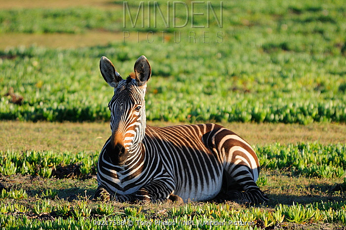 Well grown Cape Mountain Zebra foal (Equus zebra zebra) lying down deHoop NR, Western Cape, South Africa  -  Tony Phelps/ npl