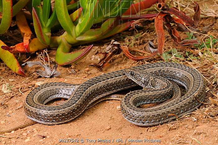 Cross-marked Whip Snake (Psammophis crucifer) deHoop NR, Western Cape, South Africa  -  Tony Phelps/ npl
