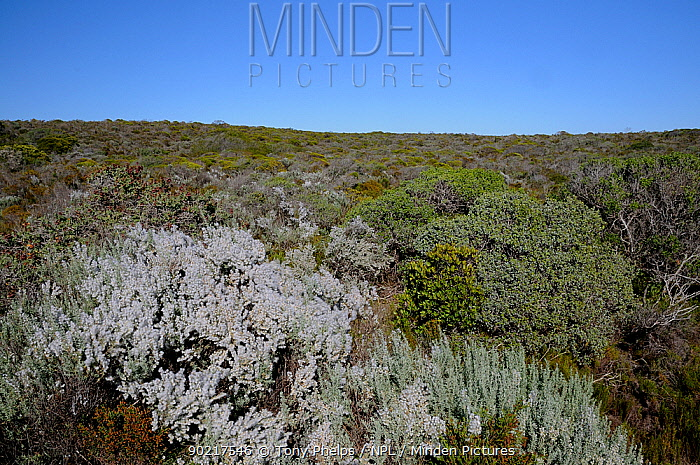 Kapok Bossie, Wild Rosemary (Eriocephalus paniculatus) growing in sand fynbos deHoop NR, Western Cape, South Africa, September 2010  -  Tony Phelps/ npl