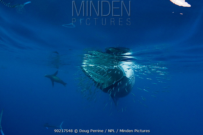 Bryde's whale (Balaenoptera brydei, edeni) swimming past a baitball of Sardines (Clupeidae)California sea lion (Tetreapturus audax) and Striped marlin (Zalophus californianus) in background Off Baja California, Mexico, Eastern Pacific Ocean, November  -  Doug Perrine/ npl