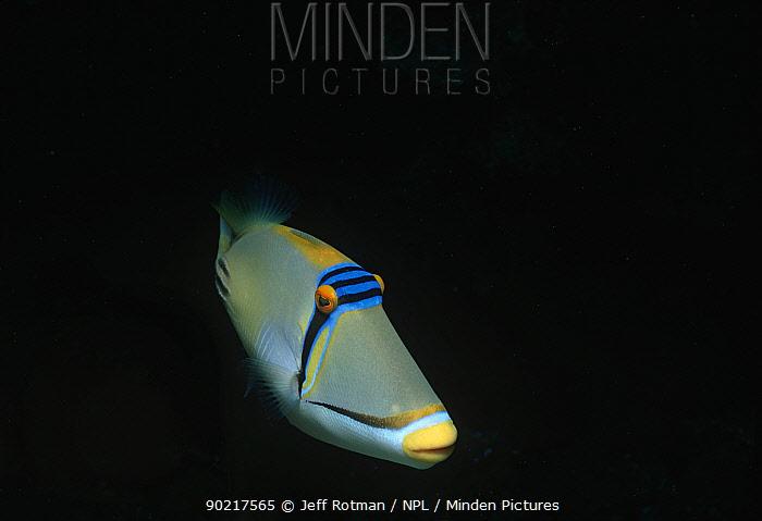 Picasso triggerfish (Rhinecanthus assasi) Sinai Peninsula, Red Sea, Egypt  -  Jeff Rotman/ npl