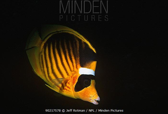 Striped butterflyfish (Chaetodon fasciatus) Sinai Peninsula, Red Sea, Egypt  -  Jeff Rotman/ npl