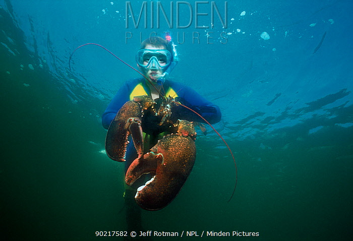 Boy (nine years) catching 15lb Northern lobster (Homarus americanus) whilst diving in the Atlantic Ocean, Gloucester, Massachusetts, USA Model released  -  Jeff Rotman/ npl