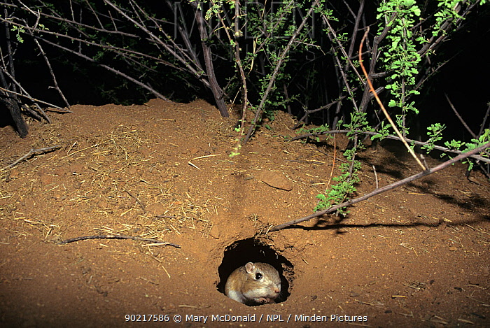 Bannertailed Kangaroo Rat (Dipodomys spectabilis) in nest hole at night, note full cheek pouches, captive, USA  -  Mary Mcdonald/ npl