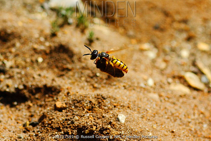 Bee killer wasp, Bee wolf (Philanthus triangulum) with Honey bee (Apis mellifera) prey returning to burrow, Wimbledon Common SSSI, South London,  -  Russell Cooper/ npl
