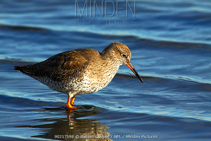 Redshank (Tringa totanus) in the shallows, Brownsea Island Lagoon, Poole Harbour, Dorset,  -  Russell Cooper/ npl