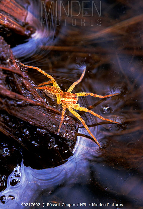 Raft spider (Dolomedes fimbriatus) hunting with front legs resting on the water surface to detect movement, Thursley Common NNR, Surrey, UK  -  Russell Cooper/ npl